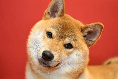 photoACの柴犬写真1
