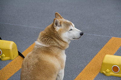 プロフォトの柴犬写真1