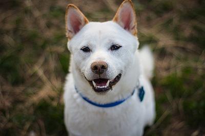 pixabayの柴犬写真2