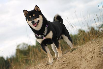 GATAGの柴犬写真2
