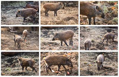 猪の無料写真素材